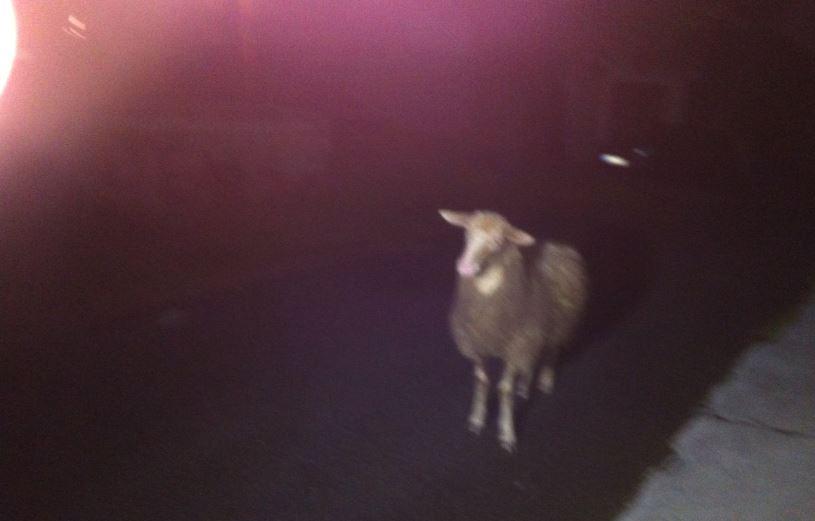 Shaun, das Killer-Schaf!